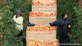 Symbolic Picture Shows apple harvest in the Netherlands