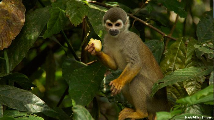 A squirrel monkey near the Tarapoto Lagoon, snapped on the WWF's recent trip to the Colombian Amazon. The species is quite common in the area. monkey (Photo: WWF/Dirk Embert)