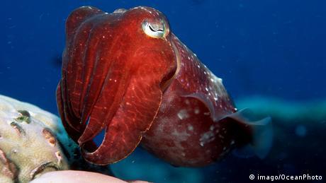 Australien Meeresschutzgebiet Great Barrier Reef Breitkeulen-Sepia