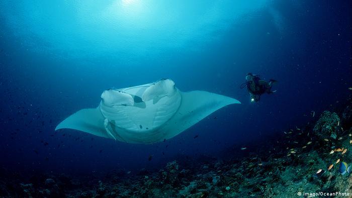 Australien Meeresschutzgebiet Great Barrier Reef Mantarochen und Taucher