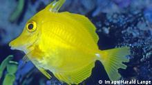 Ob der Zitronen-Segelflosser-Doktorfisch im Great Barrier Reef noch zu retten ist?