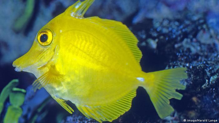Australien Meeresschutzgebiet Great Barrier Reef Zitronen-Segelflosser