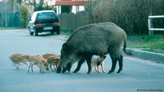 Wildschweine in der Vorstadt Bache mit Frischlingen Berlin