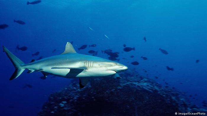 A silvertip shark swims next to coral in blue waters