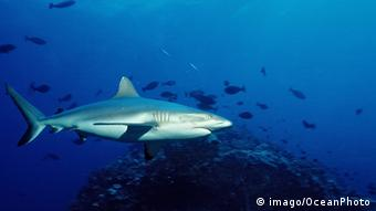 silvertip shark swimming in the Australian Great Barrier Reef