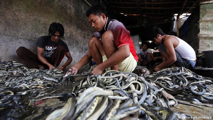 Schlachthaus für Schlangen in Indonesien (picture-alliance/dpa)