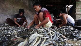 Węże to w Azji przysmak i materiał do produkcji lekarstw