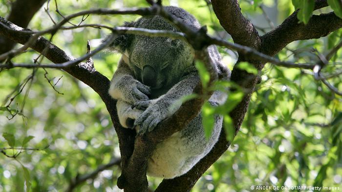 A koala nestled in a tree