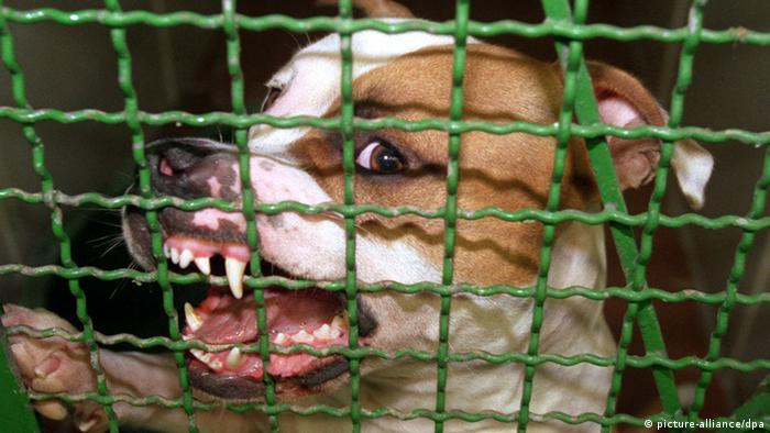Pitbulls are one of the most violent fighting dogs