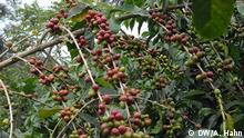 Äthiopien kaffeebaum