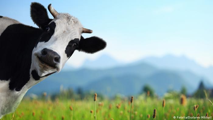 erstaunte Kuh
