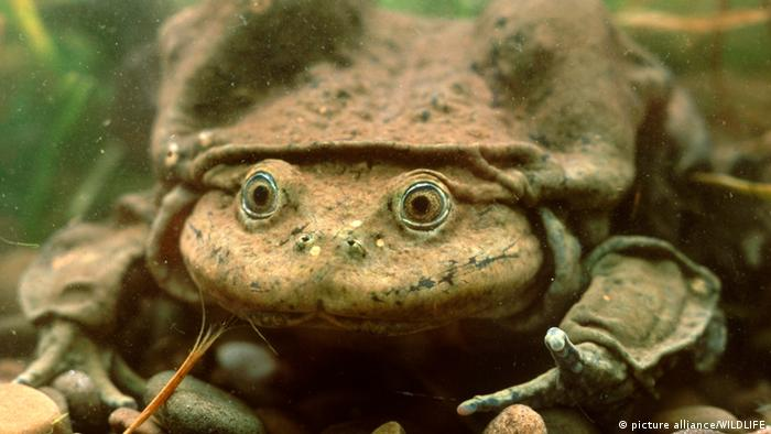 Titicaca water frog