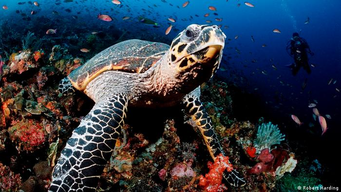 A Hawksbill Turtle under water