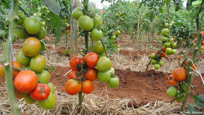 A tomato farm with several bunches of tomatoes.