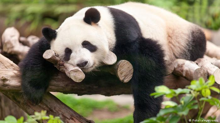 Giant panda on a tree (Fotolia / eyetronic)