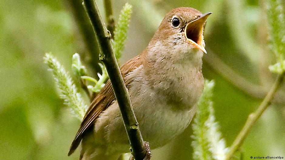 Nightingale (photo: Picture-alliance/ dpa)