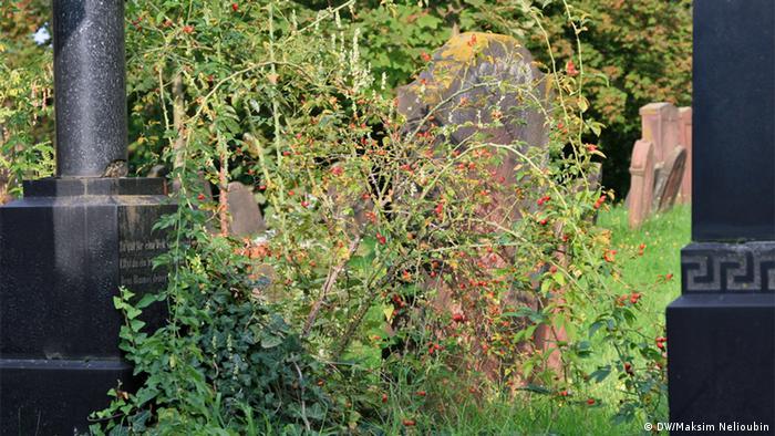 Куст шиповника на кладбище в Вормсе