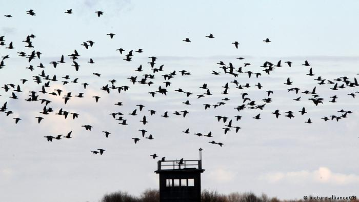 Дикие гуси над пограничной вышкой на бывшей внутригерманской границе
