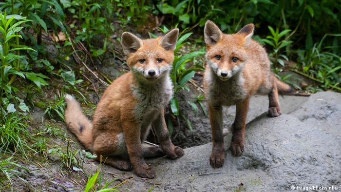 young red foxes in Italy