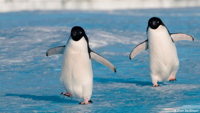 Adelie Penguin. Photo credit: Alain De Broyer.