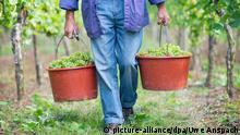 Szene aus einem Weinberg: zwei Eimer voller Trauben werden von einer Person, von der nur der untere Teil des Körpers zu sehen ist, zwischen Weinstöcken hindurch in Richtung der Kamera getragen.