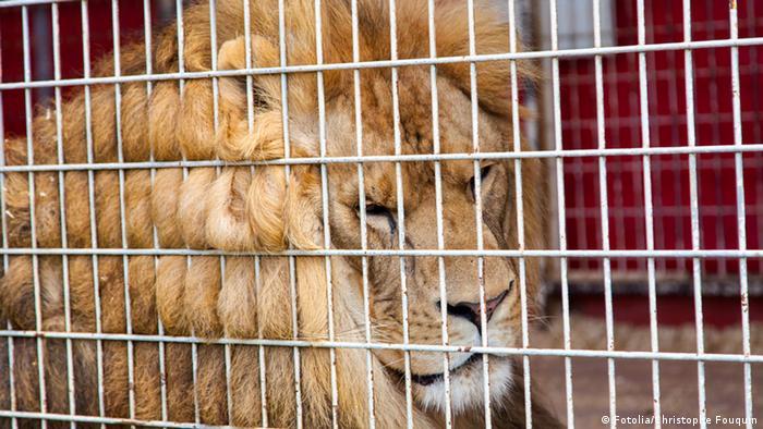 سرکس کے 33 شیر جنوبی افریقی جنگلوں میں