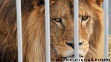 Löwe in einem Käfig