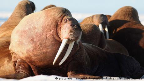 Alaska Walross