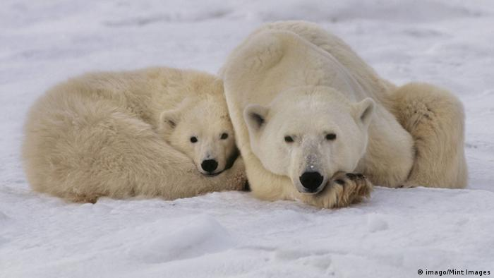 Polar bear mother and young resting in Hudson Bay, Canada