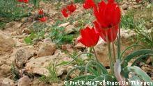 Bildtext: Wüstenpflanzen in Israel, darunter die rot blühende Tulpe (Tulipa systola). Foto: Prof. Katja Tielbörger/ Uni Tübingen