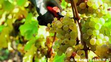 Riesling ist der perfekte Wein für Kalorienbewußte. Ein Glas des edlen Tropfens hat nur zwischen 90 und 95 Kalorien, je nach Sorte. Ein Rotwein zum Vergleich liegt bei etwa 150 Kalorien im Schnitt. Das liegt am geringeren Alkoholgehalt. Ein Kabinett beispielsweise hat nur 8% Alkohol, süß schmeckt er trotzdem. Copyright: Weingut Robert Weil