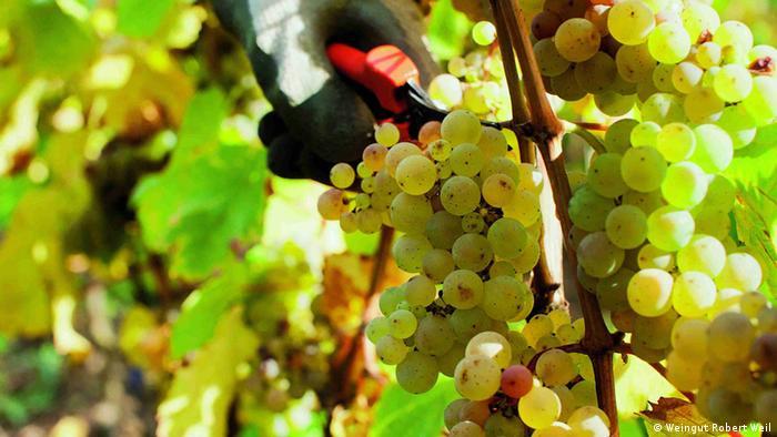Cacho de uvas Riesling