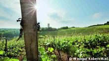"""""""Keiner weiß, woher er kam"""", sagt der WeinJournalist Rudolf Knoll über den Riesling. Anders als viele andere Rebsorten bleibt der """"König der Weißweine"""" im Dunkel. Es gibt Stimmen, die den Wein im alten Rom verankern, andere sprechen von der Stadt Worms als Geburtsort der Sorte. Hier wurde die Traube immerhin im Jahre 1490 urkundlich erwähnt. Copyright: Weingut Robert Weil"""
