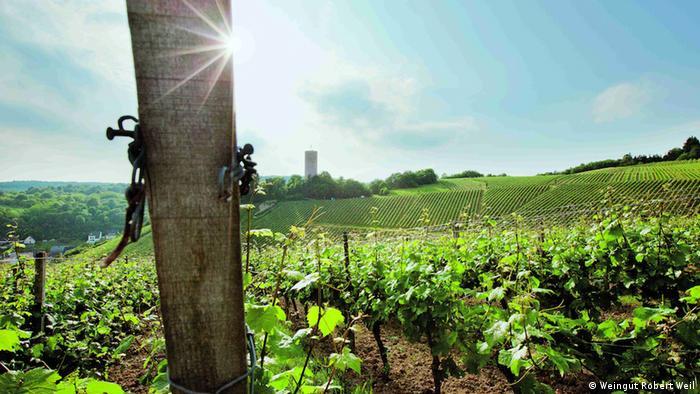 Grape vines in a sunny field.