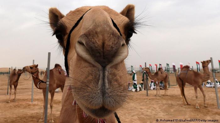 Camels (Mohamed El-Shahed/AFP/Getty Images)