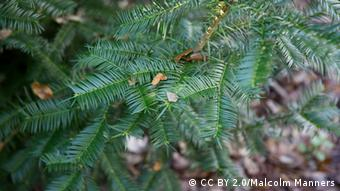 The Torreya taxifolia, an evergreen conifer (Photo: CC BY 2.0/Malcolm Manners)