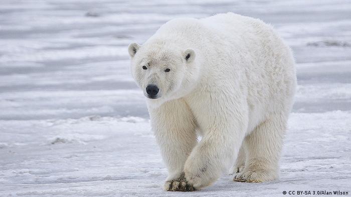Polarbär in Alaska