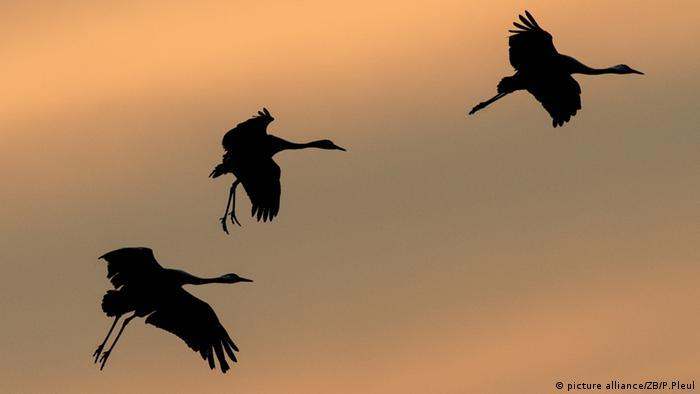 Zugvögel machen Rast im Oderbruch