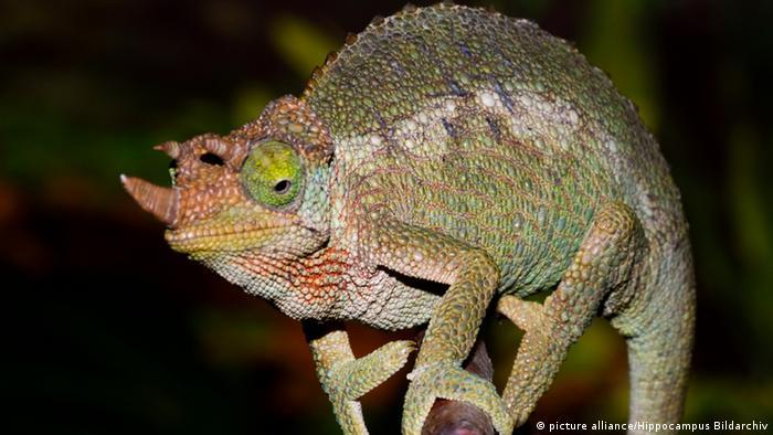 Reptilien (Bildergalerie) Dreihornchamäleon