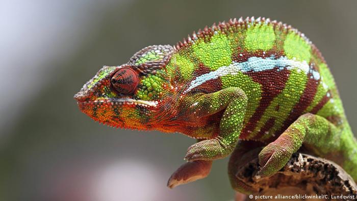 Reptilien (Bildergalerie) Pantherchamäleon