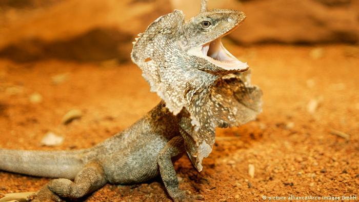 Reptilien (Bildergalerie) Kragenechse