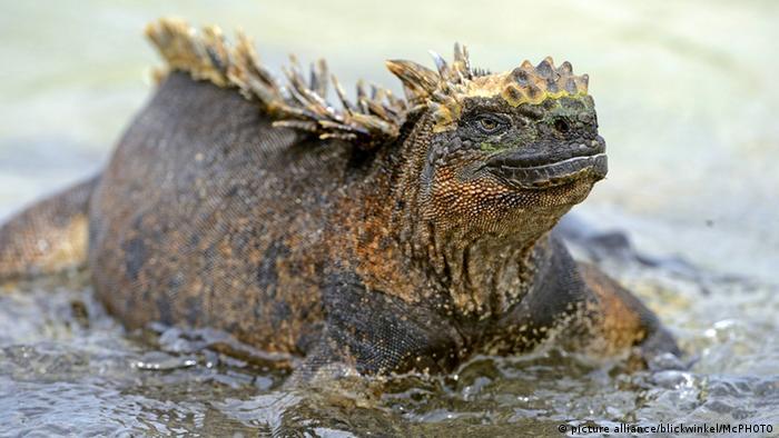 Reptilien (Bildergalerie) Galapagosmeerechse (picture alliance/blickwinkel/McPHOTO)