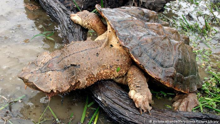Reptilien (Bildergalerie) Mata Mata Schildkröte