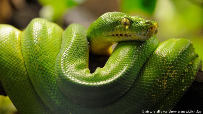 Reptilien (Bildergalerie) Grüner Baumpython