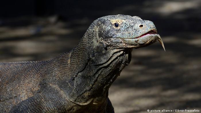 Reptilien (Bildergalerie) Komodowaran