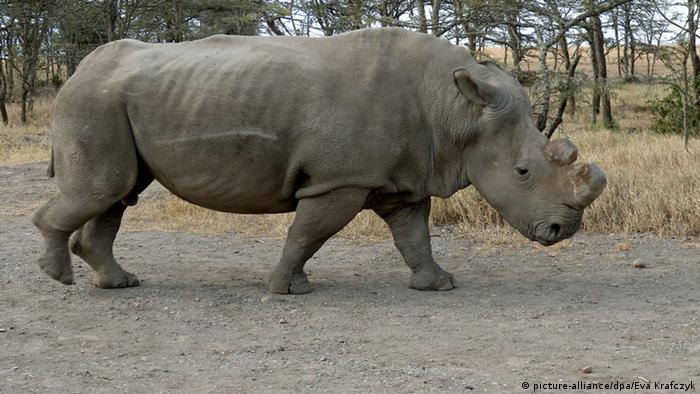 Suni un rinoceronte blanco del norte que murió por causas naturales en 2014.