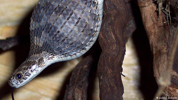 Common egg-eater snake, after having swallowed the egg of a quail.