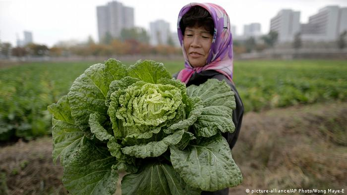 Harvesting a cabbage in North Korea