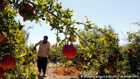 Iran Landwirtschaft Granatäpfel (Bildergalerie)