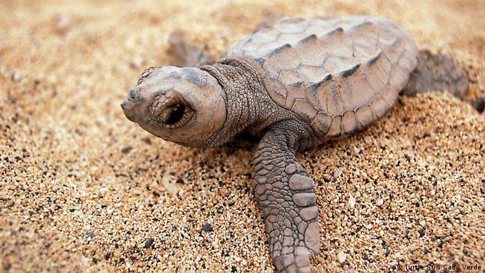 Baby sea turtle on beach (Photo: Turtle SOS Cabo Verde)